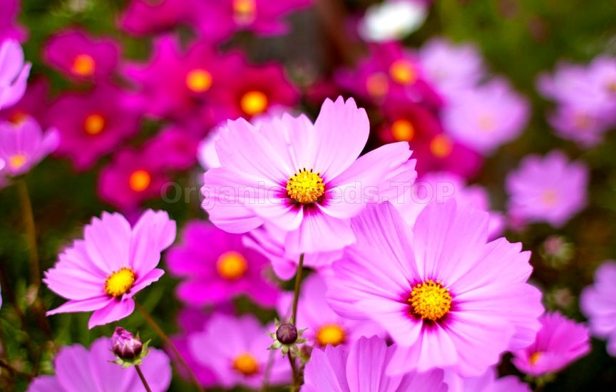 Tips For Growing Cosmos