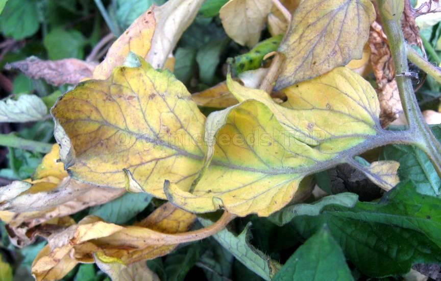 Yellow Tomato Leaves