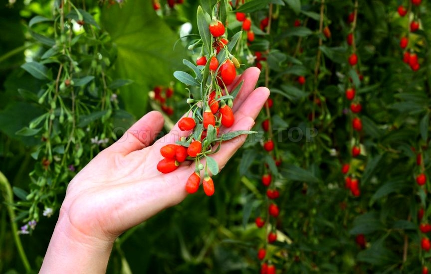 9 Impressive Health Benefits of Goji Berries