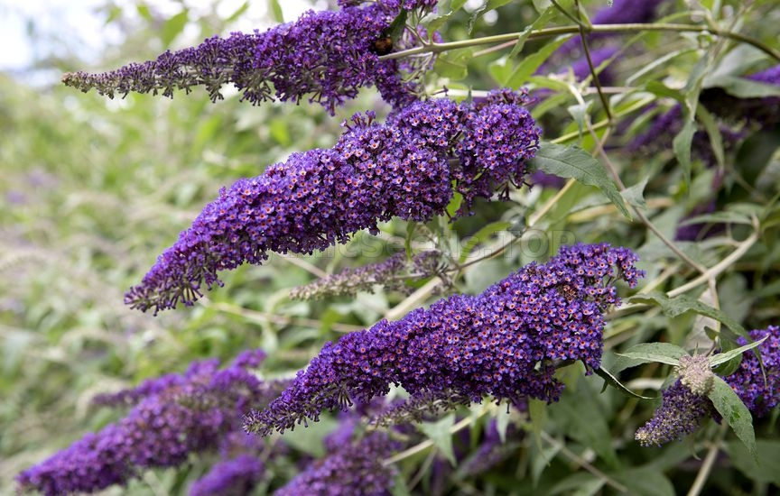 How To Grow Butterfly Bush
