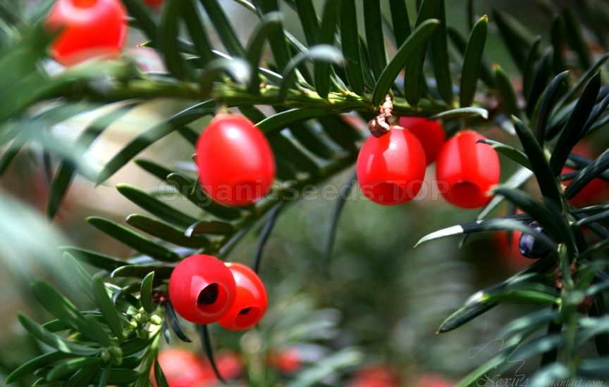 How To Grow English Yew