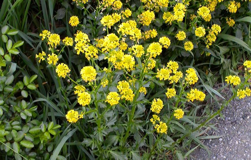 Barbarea vulgaris or Winter cress
