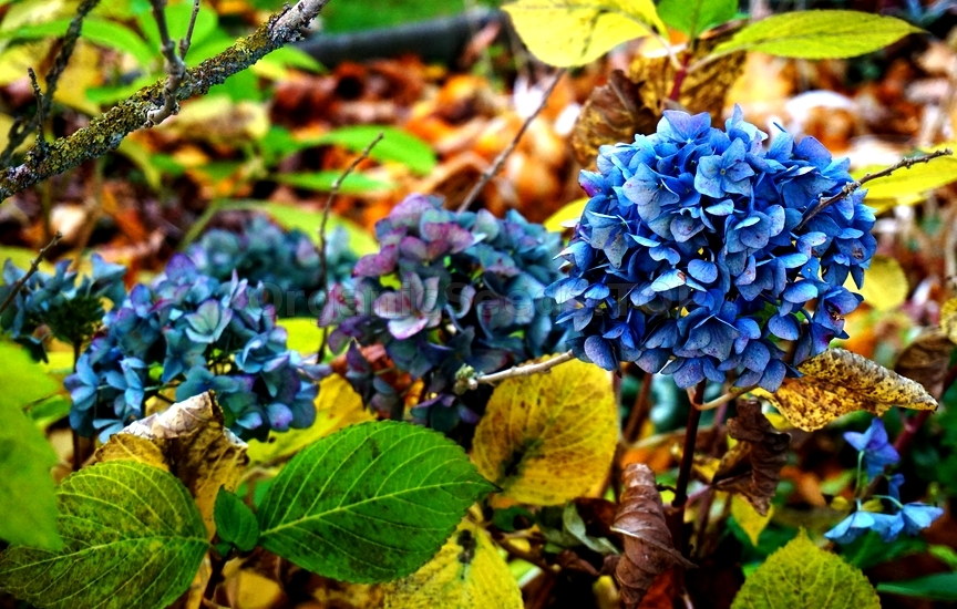 Showy Shrubs for Fall