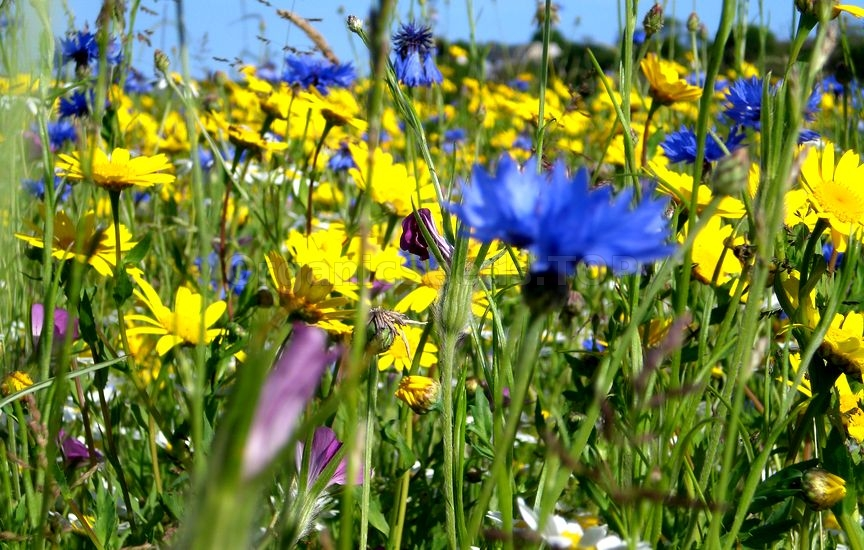Wild Flower Meadows
