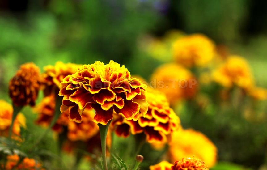 How to Grow Tagetes