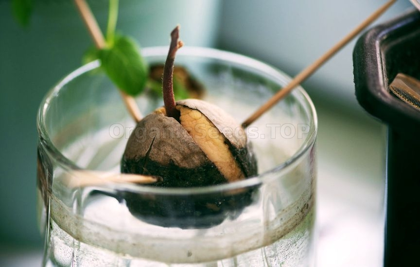growing avocados in containers. Black Bedroom Furniture Sets. Home Design Ideas