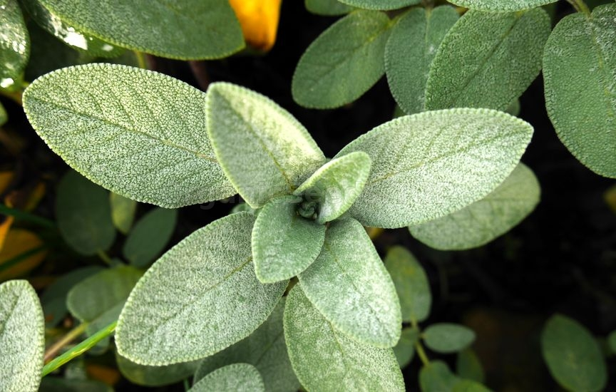 6 Health Benefits of Sage