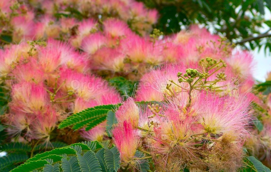 Persian silk tree silk tree mimosa albizia julibrissin growing can be a rewarding treat once the silky blooms and fringe like foliage grace the landscape mightylinksfo