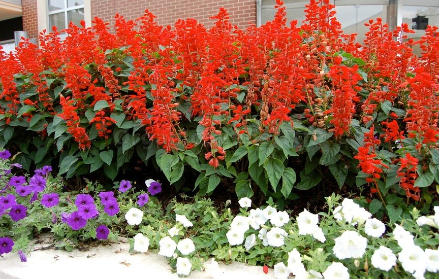 How to Grow Scarlet Sage