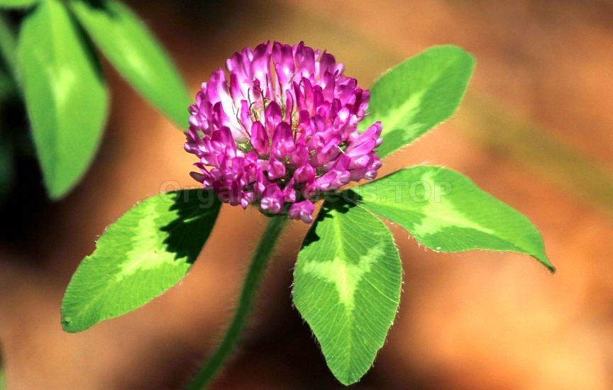 Red Clover Trifolium pratense 4g Wild Flower