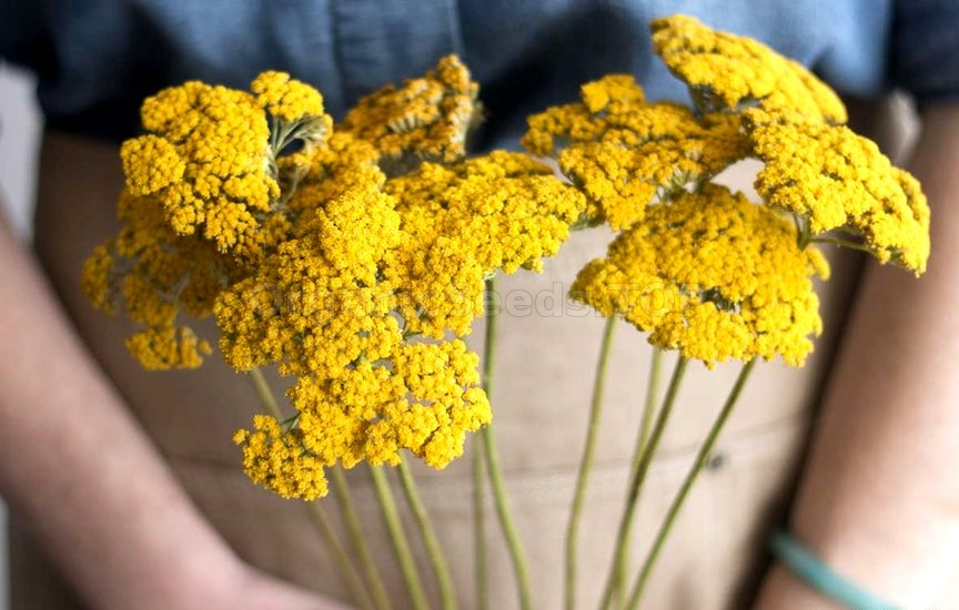 Benefits of Yarrow