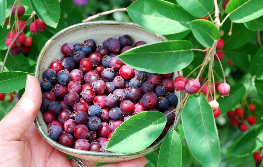 How To Grow And Care For A Serviceberry Tree