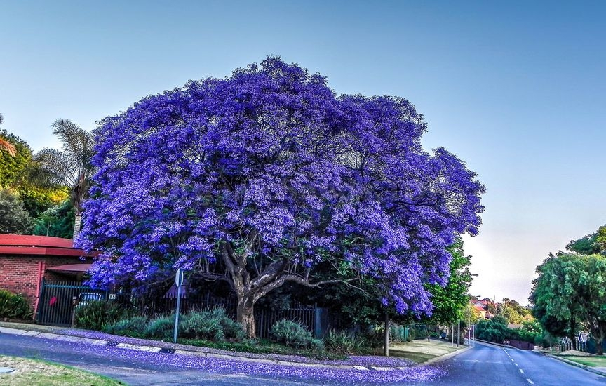 How To Grow A Jacaranda Tree