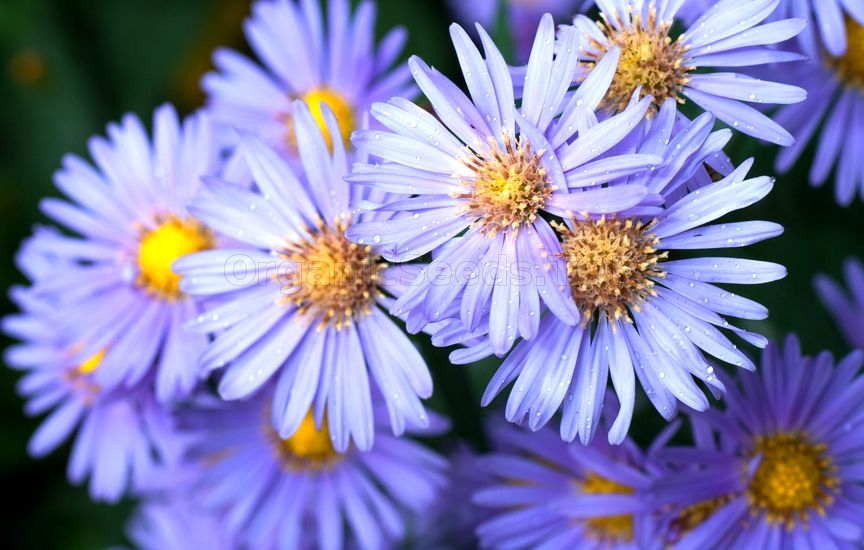 Aster Plant Care - How to Grow
