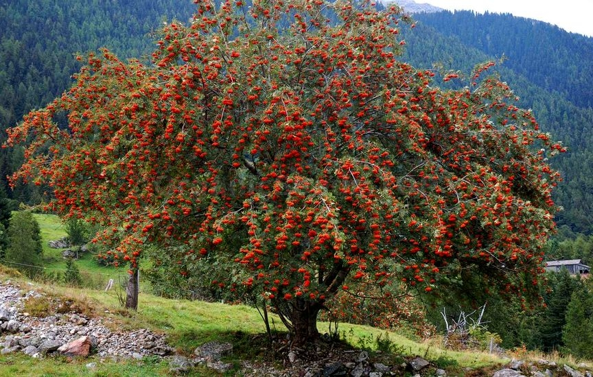 How to grow Rowan