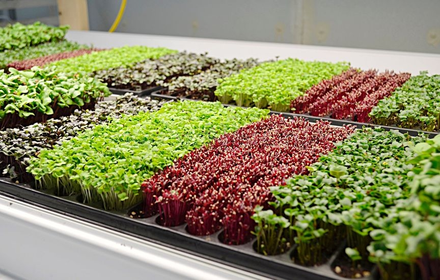 Microgreens at Home