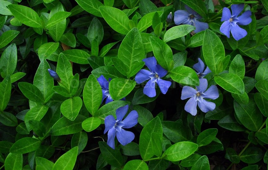 Growing Periwinkle