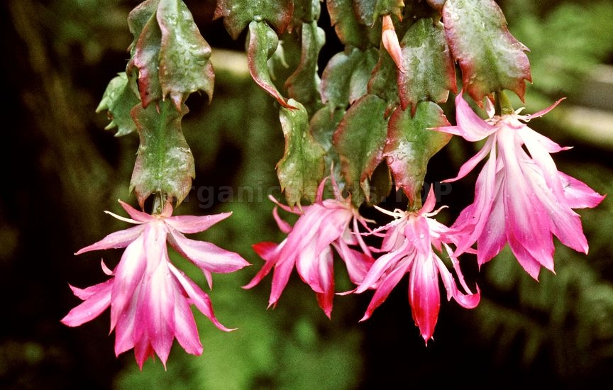 Christmas Cactus, Schlumbergera – How To Care For This Houseplant