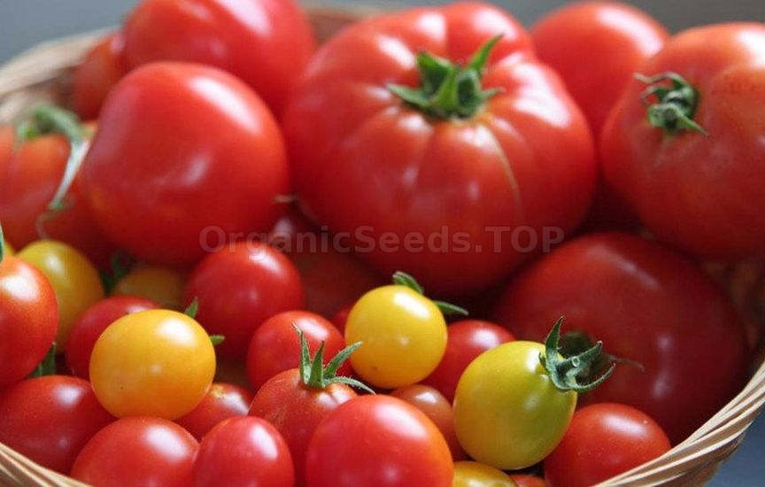How to collect tomato seeds for planting yourself