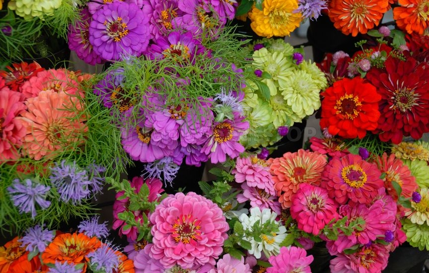 How to Grow Beautiful Zinnias