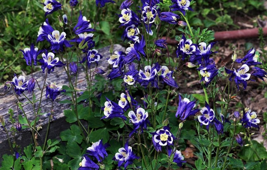 How to Care Aquilegia