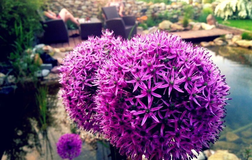 Allium – How to Plant and Grow