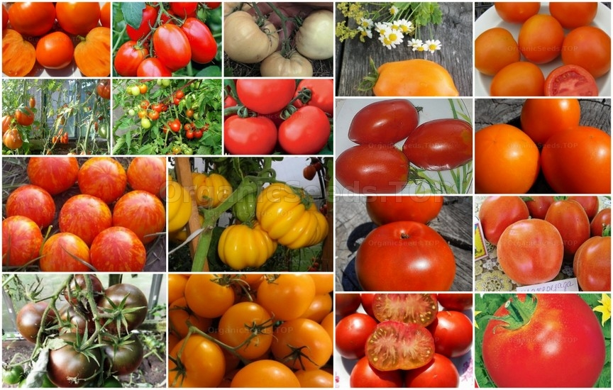 Novelties of heirloom seeds for the Fourth week of March 2021