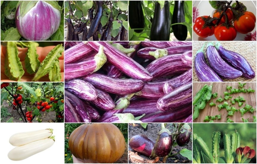Novelties of heirloom seeds for the Fourth week of February 2019