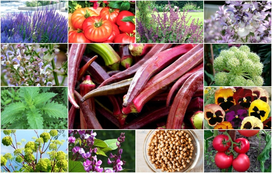Novelties of heirloom seeds for the Third week of January 2019