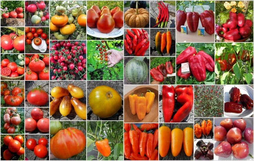Novelties of heirloom seeds for the First week of Jule 2020