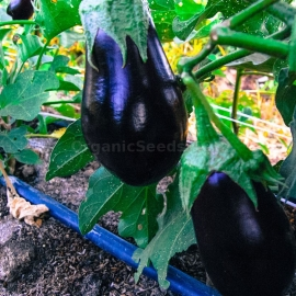 «Black Beauty» - Organic Eggplant Seeds