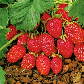 «Baron von Solemacher» - Organic Alpine Strawberry Seeds