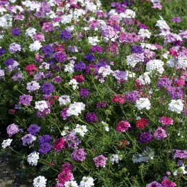 «Imagination Mix» - Organic Verbena Seeds