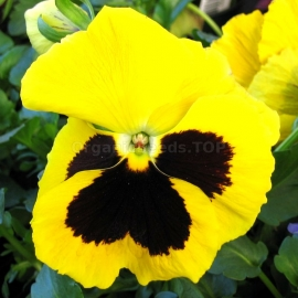 «Swiss Giant Flame» - Organic Viola Seeds