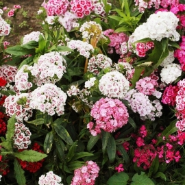 «Double Mix» - Organic Sweet William Seeds