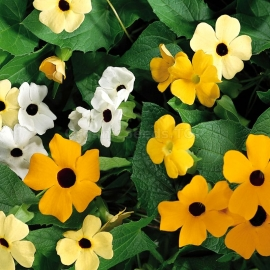 «Sunrise Mix» - Organic Thunbergia Seeds