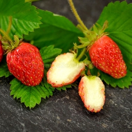 «Glitter of Stars» - Organic Alpine Strawberry Seeds