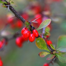 Organic Common Barberry Seeds (Berberis Vulgaris)