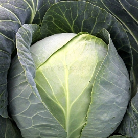 «Dita» - Organic Cabbage Seeds