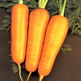 «Chantenay Red» - Organic Carrot Seeds