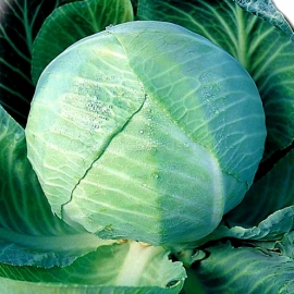 «Amager» - Organic Cabbage Seeds