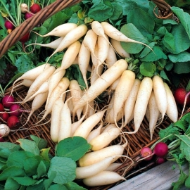 «White Icicle» - Organic Radish Seeds