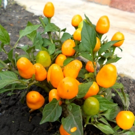 «Orange Wonder» - Organic Hot Pepper Seeds