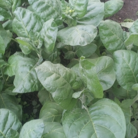 «Yelets» Heirloom Tobacco Seeds