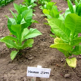 «Havana Z 299» Heirloom Tobacco Seeds