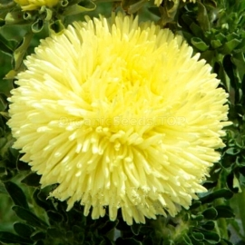 «Gremlin Yellow» - Organic Aster Seeds