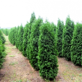 Organic Thuja Occidentalis Pyramidalis Seeds (Northern White Cedar)