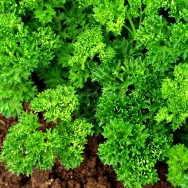 «Curled» - Organic Parsley Seeds