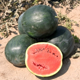 «Tulip» - Organic Watermelon Seeds