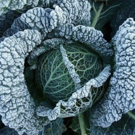 Verona Purple Organic Cabbage Seeds Shipping Is Free For Orders Over 35